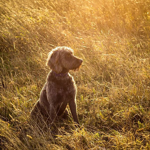 Little poser in the winter glow! Love the nifty 50 for a walk around lens.  #petphotography #labradoodlelove #labradoodlesofig #landscapephotography #dogwalk #sunset #labradoodle #visitessex  #visitcolchester