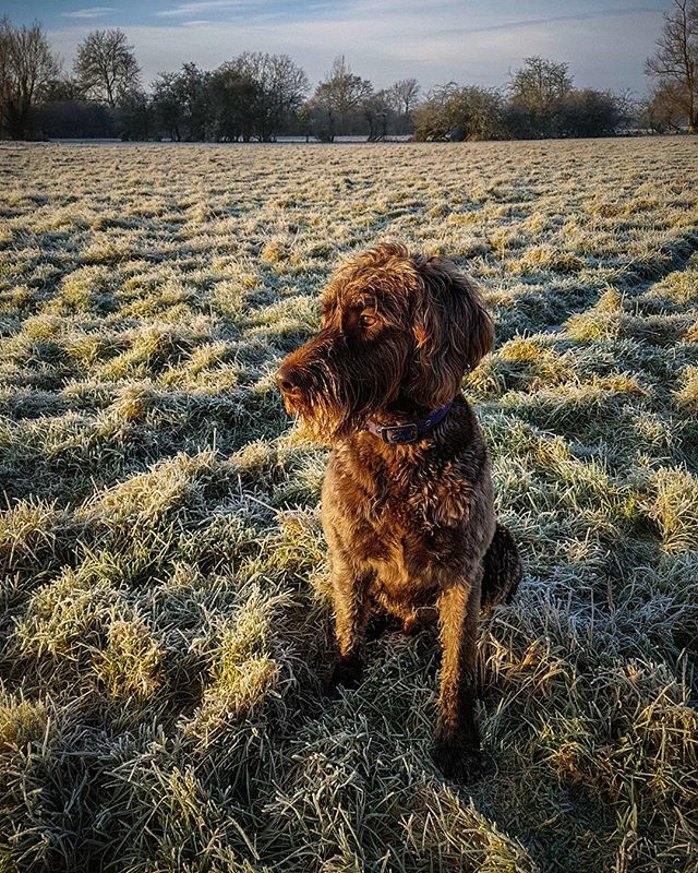 Digger had great fun playing in the #frost this morning at #flatford managed to get some decent shots. I'll post those later when I get the chance to sort and edit them.  #landscapephotography #visitsuffolk #riverstour #labradoodlesofig #labradoodlesofig #labradoodlelove #labradoodle #frosty #frost #winter #phonephotography #samsunggalaxys7