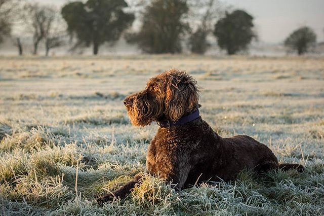 Digger enjoying a little relax in the frosty grass at #flatford mill. It was a truly beautiful morning to be out and about with the camera.  #flatfordmill #visitsuffolk #nationaltrust #flatfordnt #petphotography #petportrait #dogsofinstagram #labradoodle #labradoodlesofig #labradoodlelove #landscapephotography #frosty #riverstour #dedhamvale #dogportrait  #appicoftheweek
