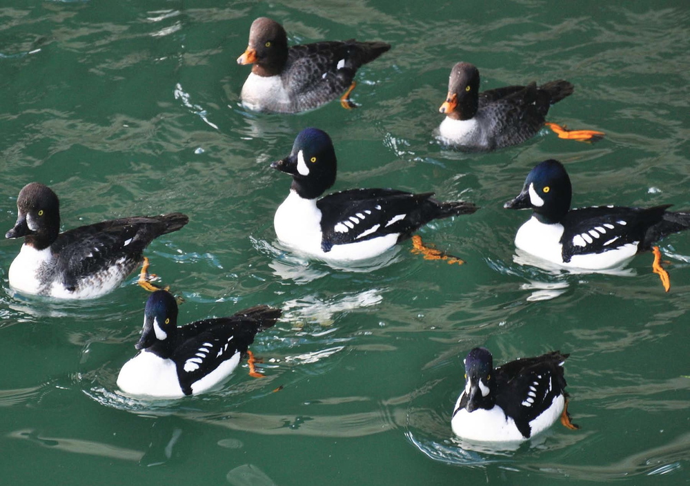 Barrow's Goldeneye Ducks.jpg
