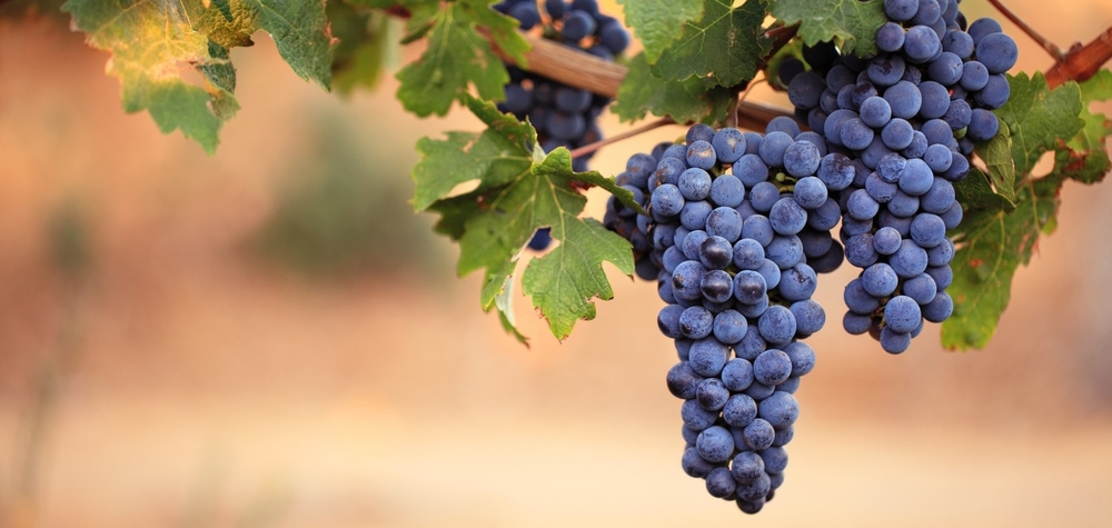 Wine Types Grape Varieties: There are over 10,000 varieties of wine grapes cultivated around the world.