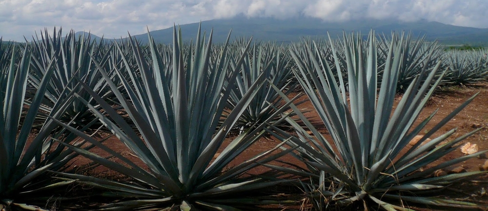 Tequila Contrary to popular belief, tequila isn't from a cactus and doesn't need a worm as an essential part of the process. Traditionally, it is made in the Tequila region of Mexico from the fermented juices of the blue Agave plant.
