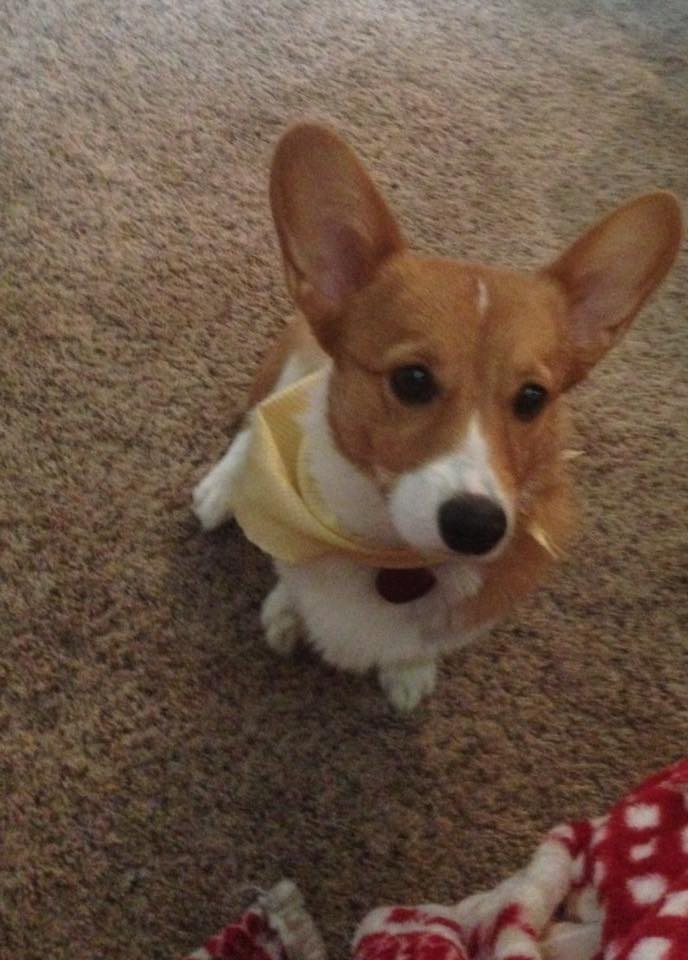 Denti also has a corgi named Bubbles. Bubbles is adorable.
