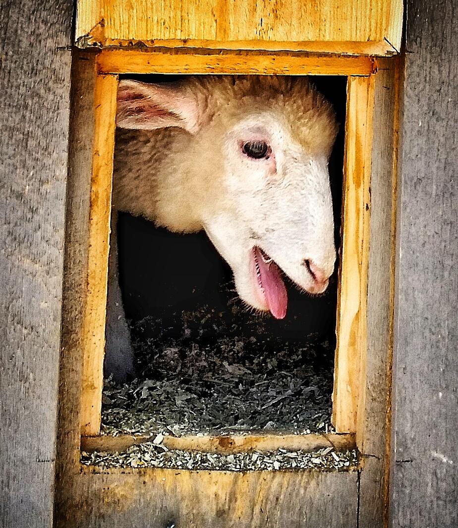lamb in coop.jpg
