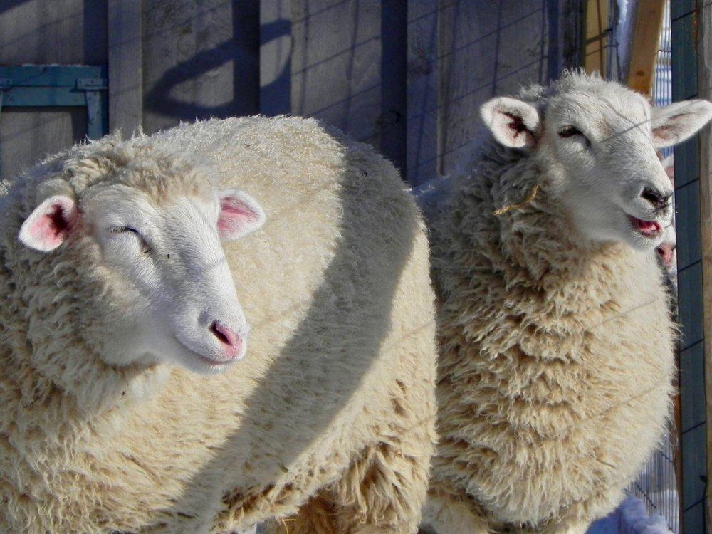 lambs winter 2.jpg