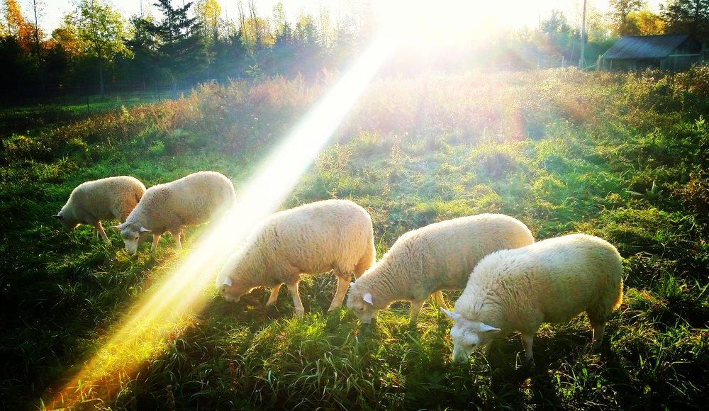 Lambs dramatic.jpeg