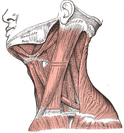 lateral neck