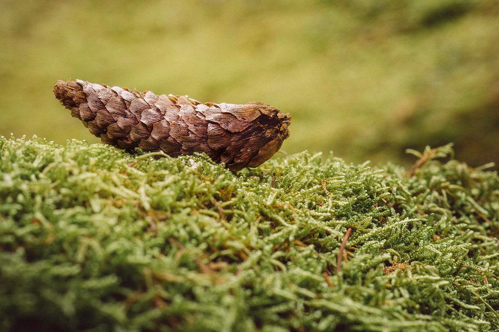 image-pine-cone.jpg
