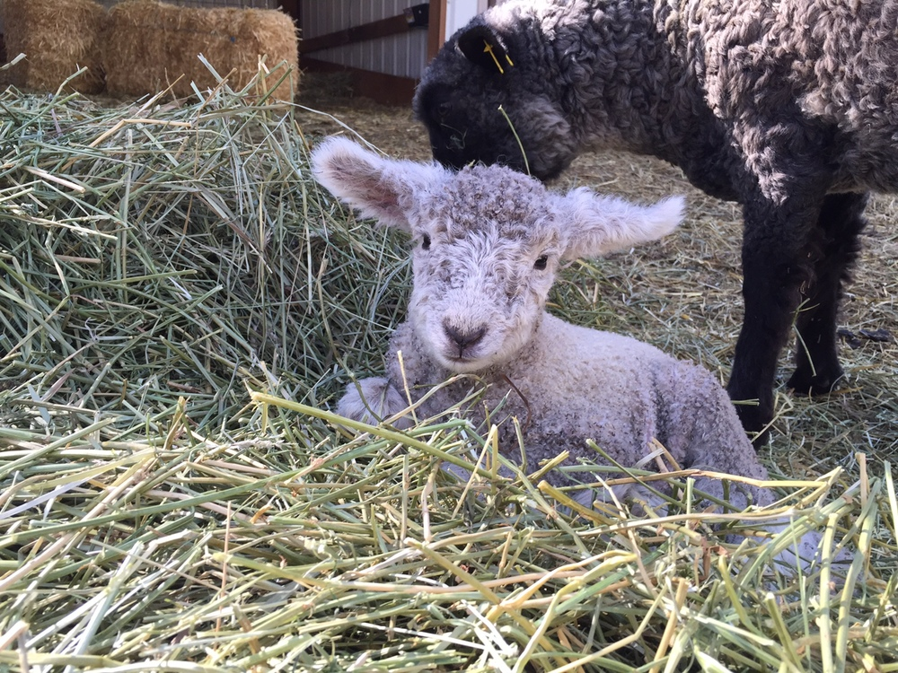 Ferdinand, a ram lamb