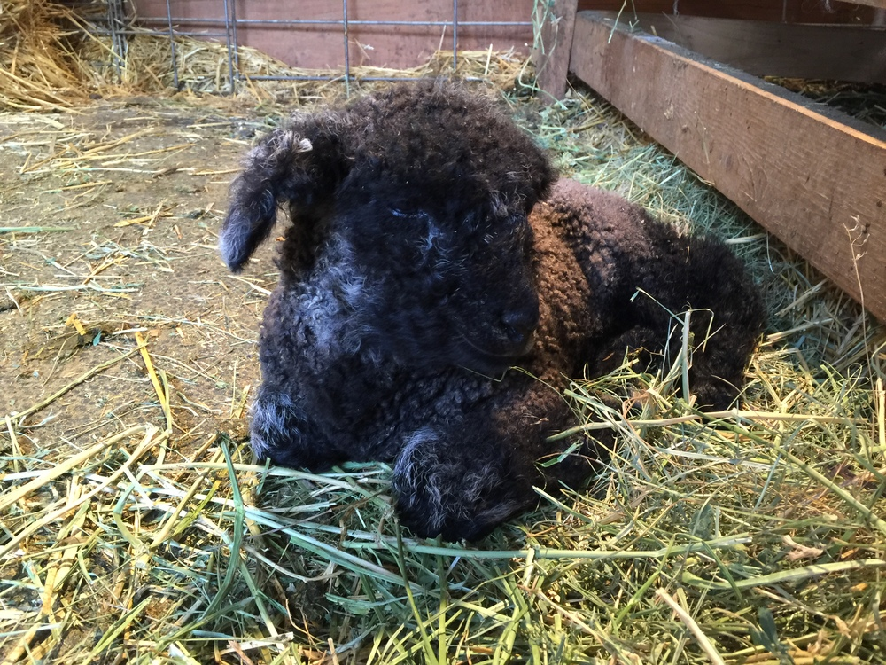 This is Elsa x Gunter's second ewe lamb.  We are calling her Lizzy.  The silver fringe on the backs of her ears distinguish her from her sister.  Also, this is the little ewe that we are having to use Elsa as a bottle for.