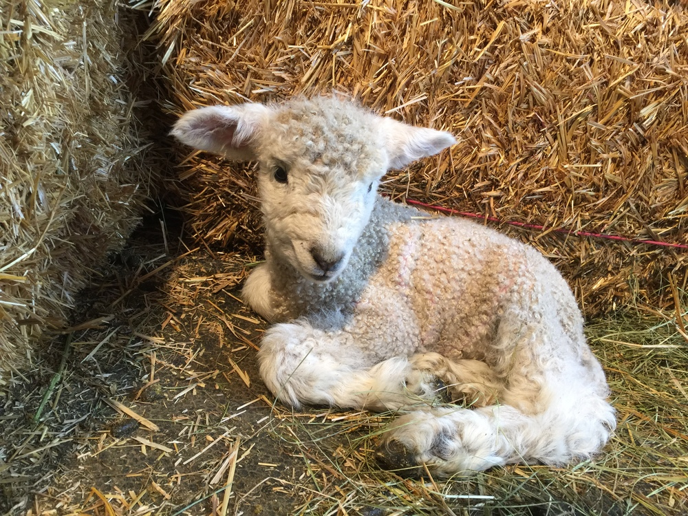 This is our first ram lamb of the season.  He is out of Sigrid x Ibsen.  We are calling him Bingley.  He is smaller than his sister, right now, but he will catch up quickly.