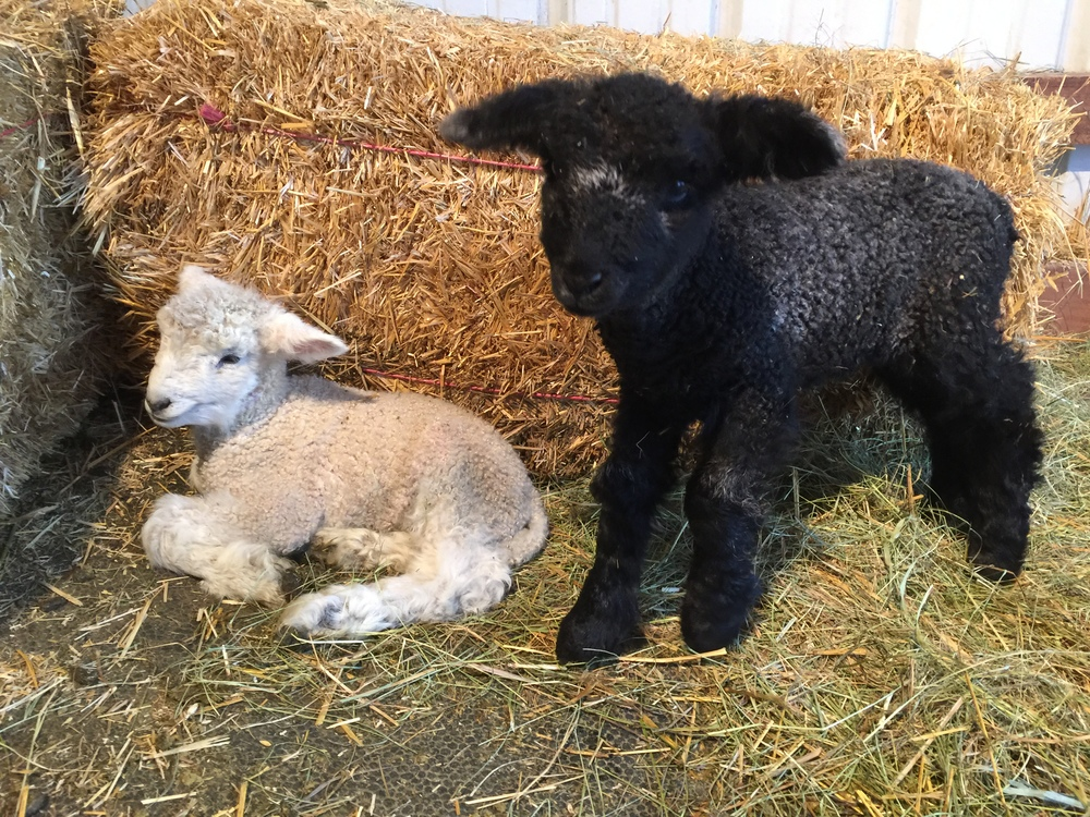 This is Bingley and his twin sister, Caroline.  She is the blackest lamb we have had to date.  The picture is slightly deceiving as she is blacker than she looks.  I will try and get better pictures of her soon.