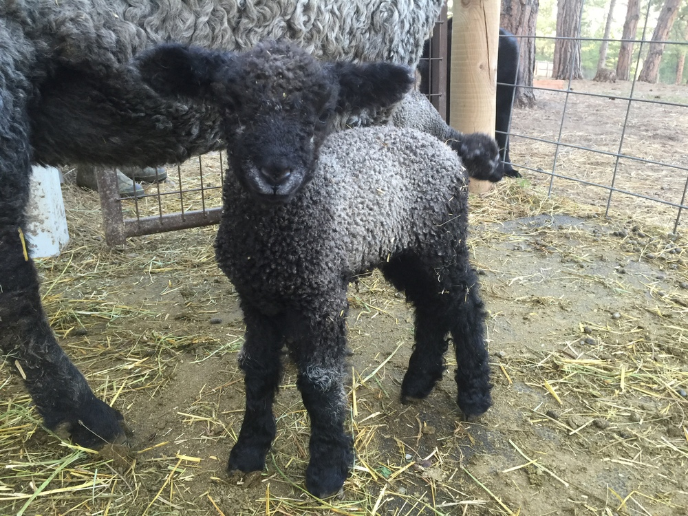 This pretty little ewe lamb is Georgiana.  She is out of Astrid x Gunter.