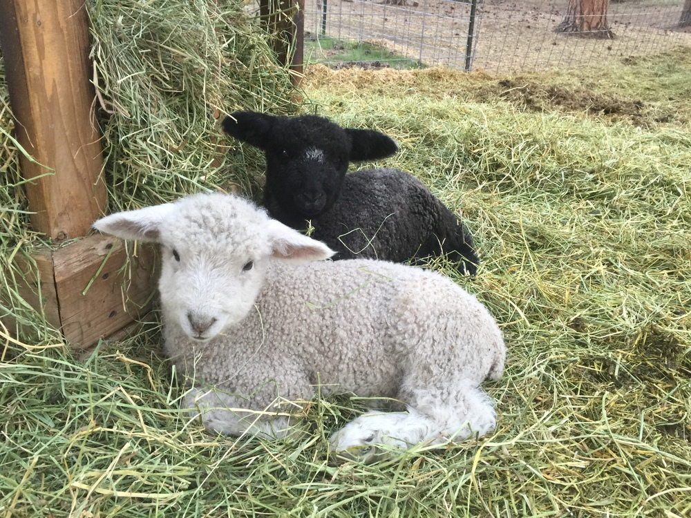 Bingley and Caroline hiding from all the activity with the new baby lamb, Fitz.