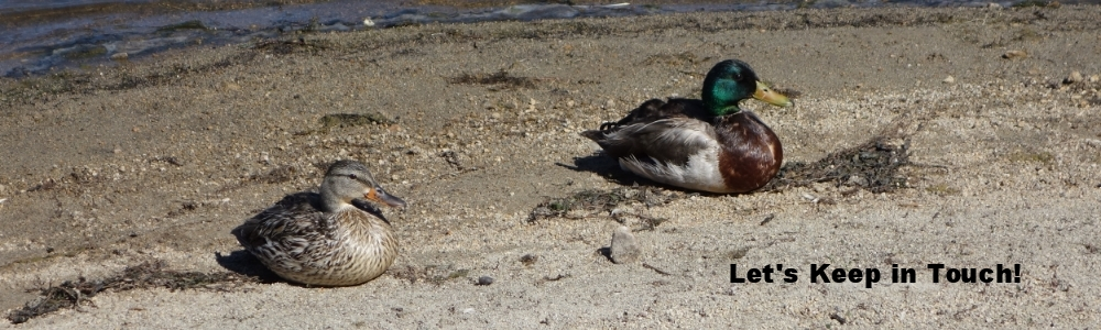 Two ducks on the beach -- June 2015(Photo by Bob TeSelle)