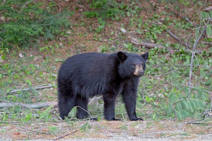 Juvenile Black Bear (Note: This is not the actual bear in the Southwest Shore -- just an example of a typical black bear.)