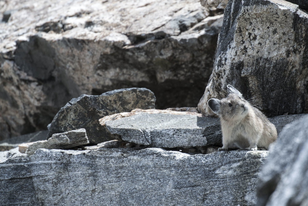 An American Pika ( Ochotona princeps ) cautiously observes hikers on the steep talus below Buck Mountain in Grand Tetons National Park, Wyoming, August 2016. (Megan Perra)