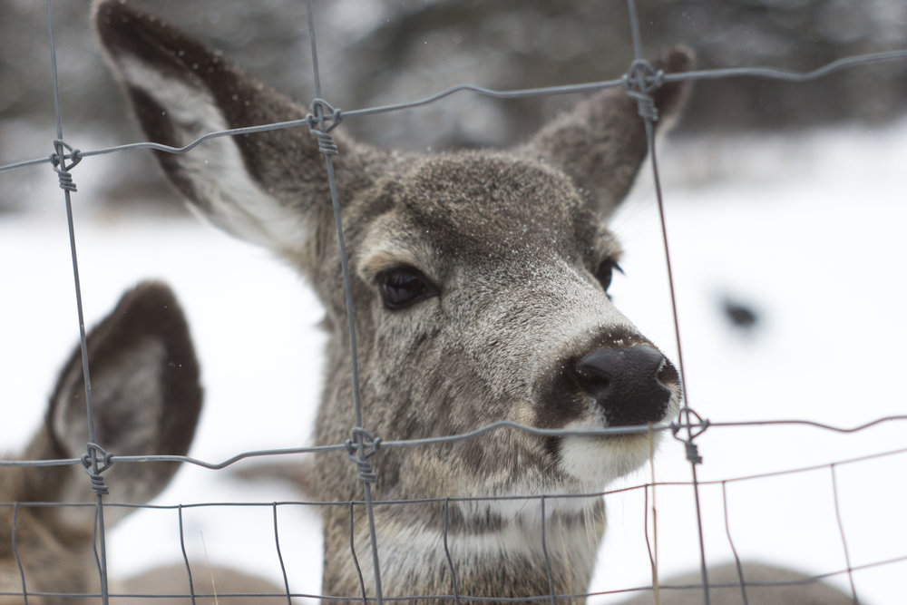 A captive deer peers through the fence at Cochrane Ecological Institute in Cochrane, AB, February 2017. (Megan Perra)