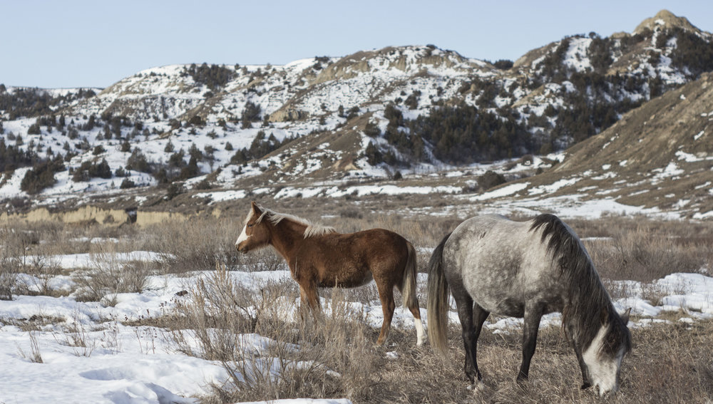 Feral horses graze in Theodore Roosevelt National Park, ND, February 2017.  The foal (left) is called Georgia's Boy and his mother (right) is called Whiskey, names given to them by Colorado State University volunteers and researchers who keep track of all the horses in the park.
