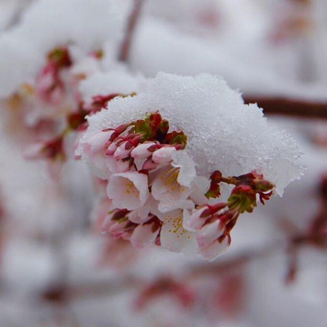 Sakura in the snow. #snowsakura #canonsakura2019 #sakura #sakura2019