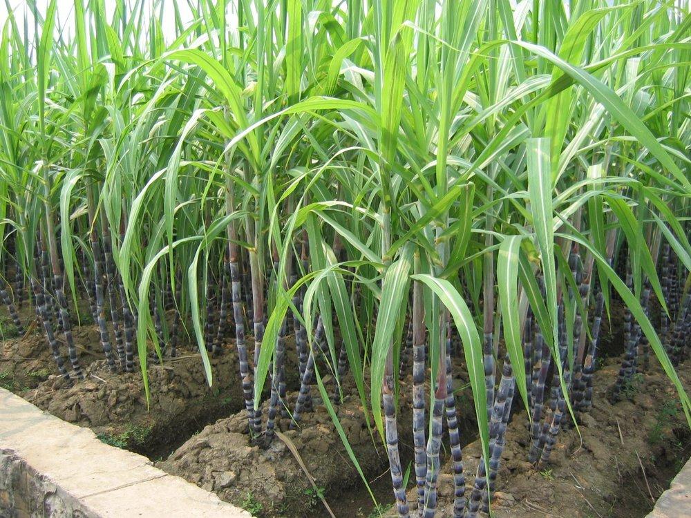 sugarcane-1.jpg