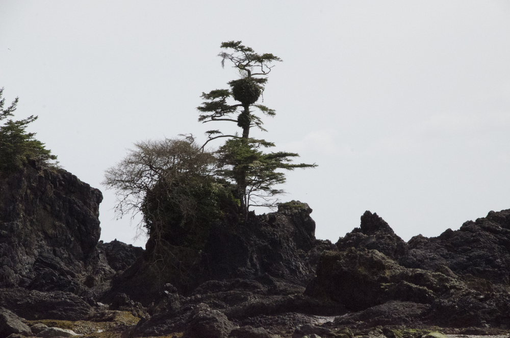 Grandmother's Tree at Spring Cove, Ucluelet, BC. Photo by Katsumi Kimoto