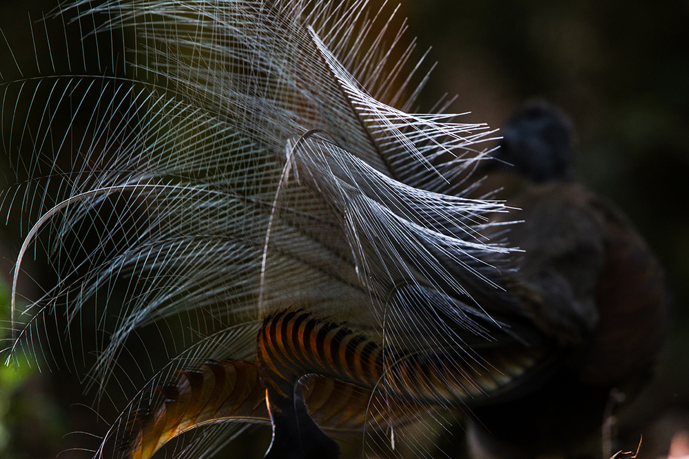 Superb Lyrebird, Gloucester River, Barrington Tops NP, February 2015-1-4.jpg