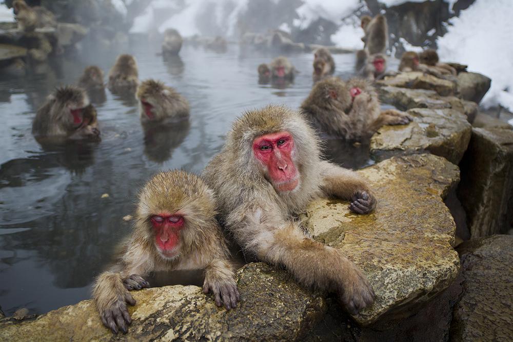 Japanese Macaque, Jigokudani, Nagano-ken, February 2012x27.jpg