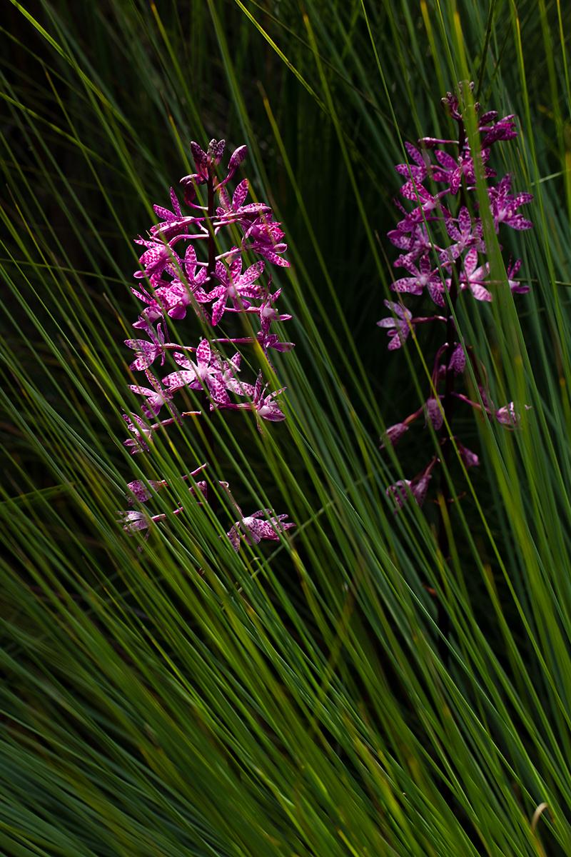 Dipodium punctatum, Blotched Hyacinth Orchid