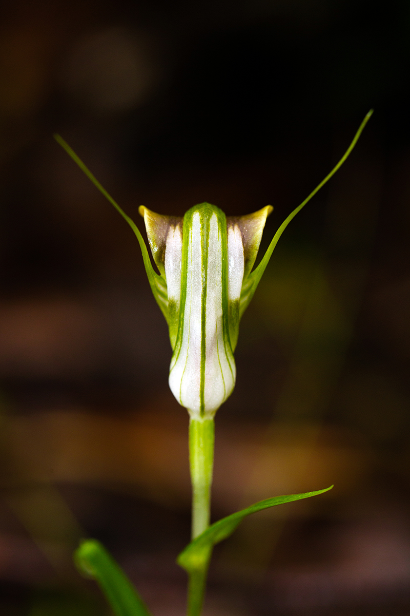 Pterostylis grandiflora, the Cobra Greenhood - so named because of the brown, flared edges to its hood.