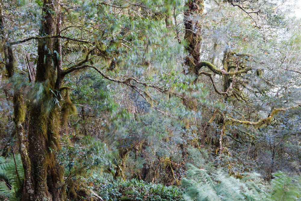 Nothofagus moorei : these tall, majestic trees are considered 'ancient' relics of Australias Gondwanan past, once abundant but now limited to pockets of suitable climate in mountains along the east coast.
