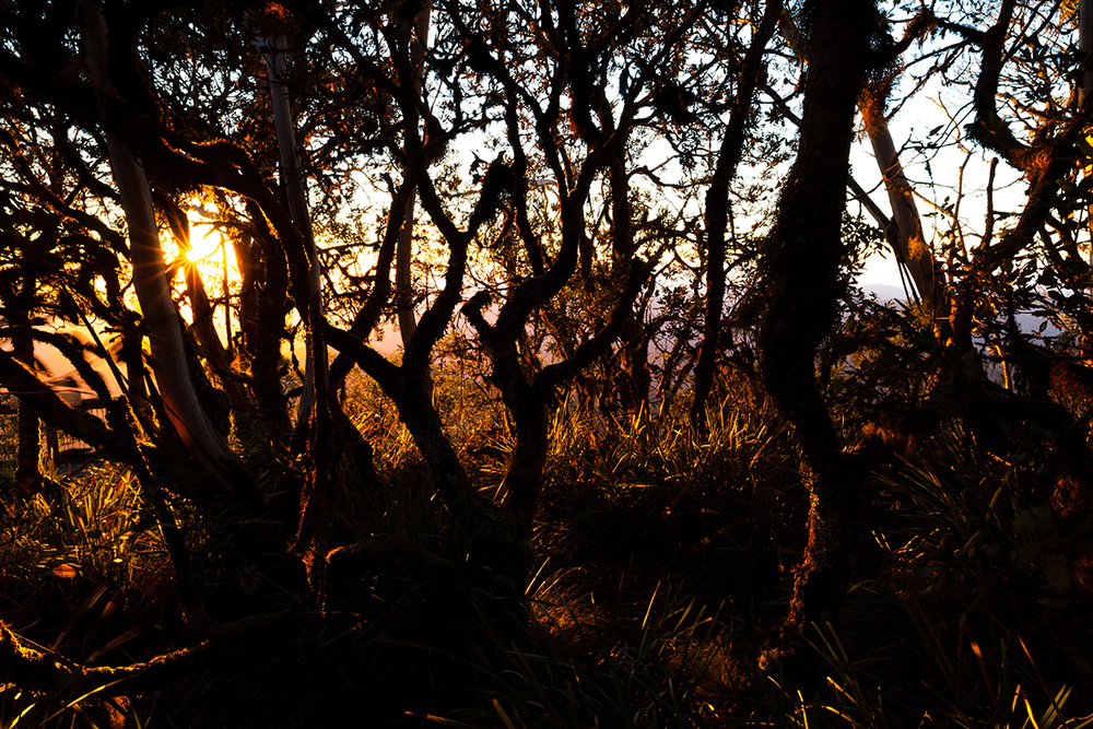 There is a little stand of  Banksia  at the top near Point Lookout, gnarly from the wind and dripping with moss. Beautiful at sunrise.