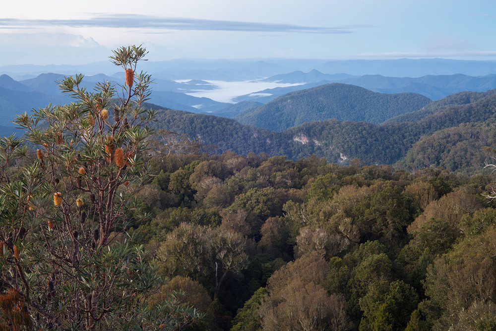 Banksia  above the beech forest at Wright's Lookout.