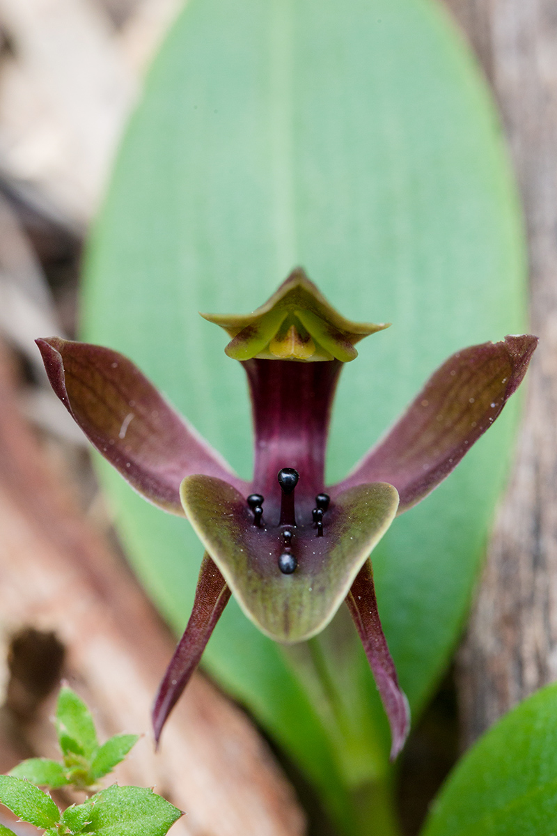 Chiloglottis valida, the Common or Large Bird Orchid.