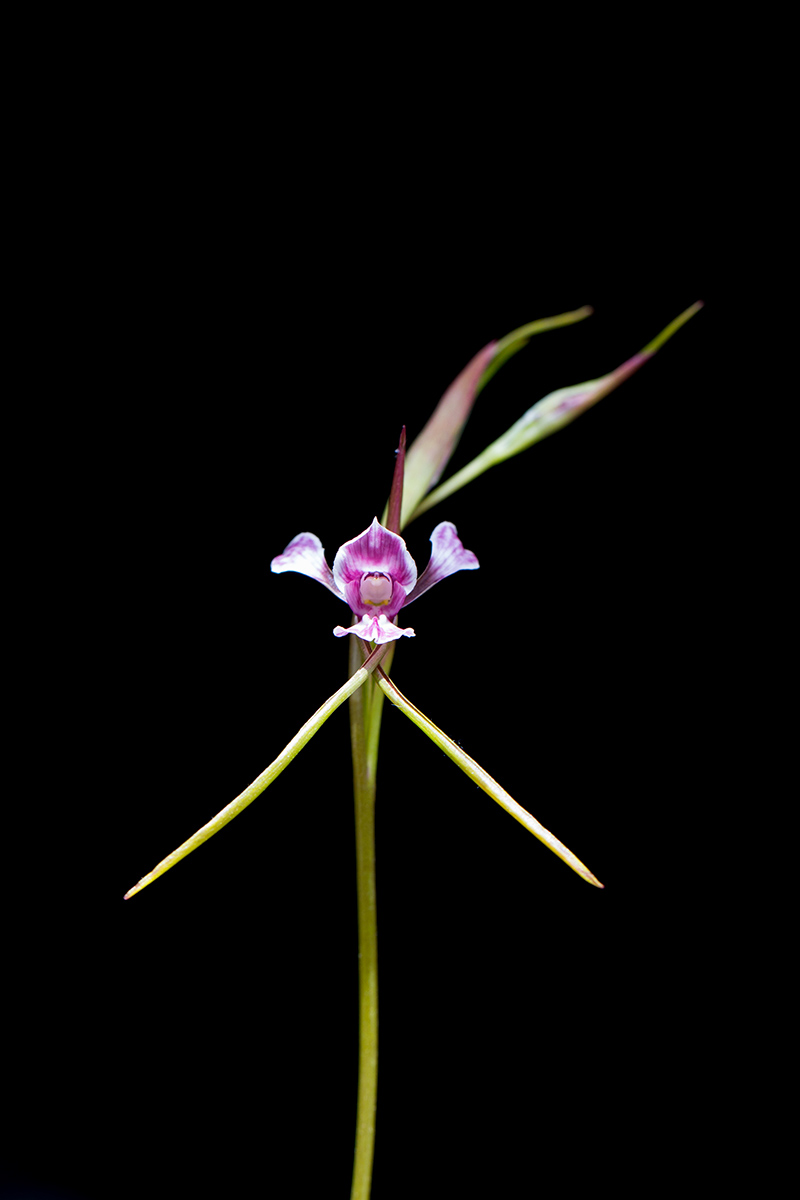 Diuris dendrobioides, the Late Mauve Doubletail.
