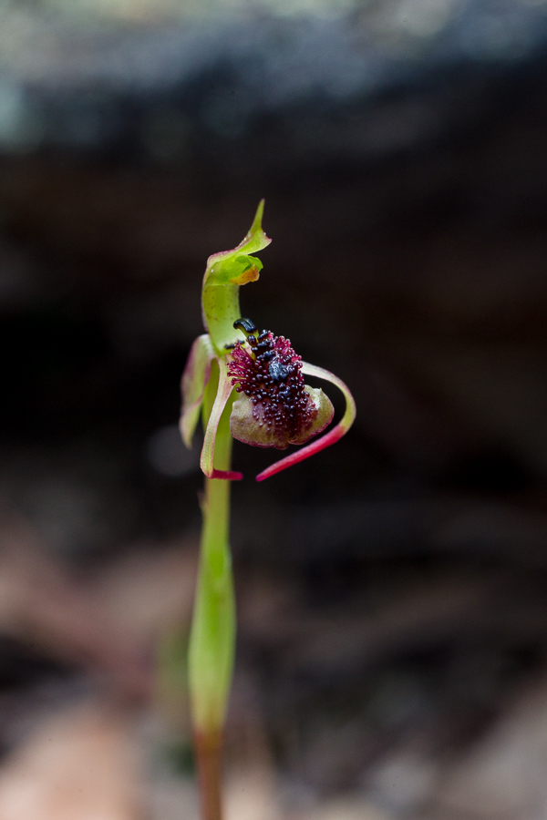 Chiloglottis trilabra, the Tall or Long-clubbed Wasp Orchid.