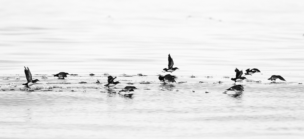 A flock of Fluttering Shearwaters take off. This species is often found in medium to large flocks.