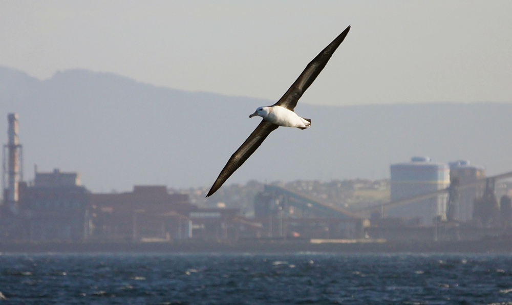 Immature Black-browed Albatross against an industrial Port Kembla backdrop.