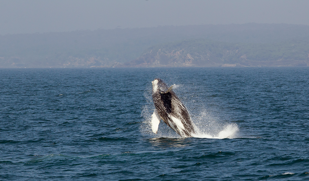 Humpback Whale breaching near Eden, NSW in October.