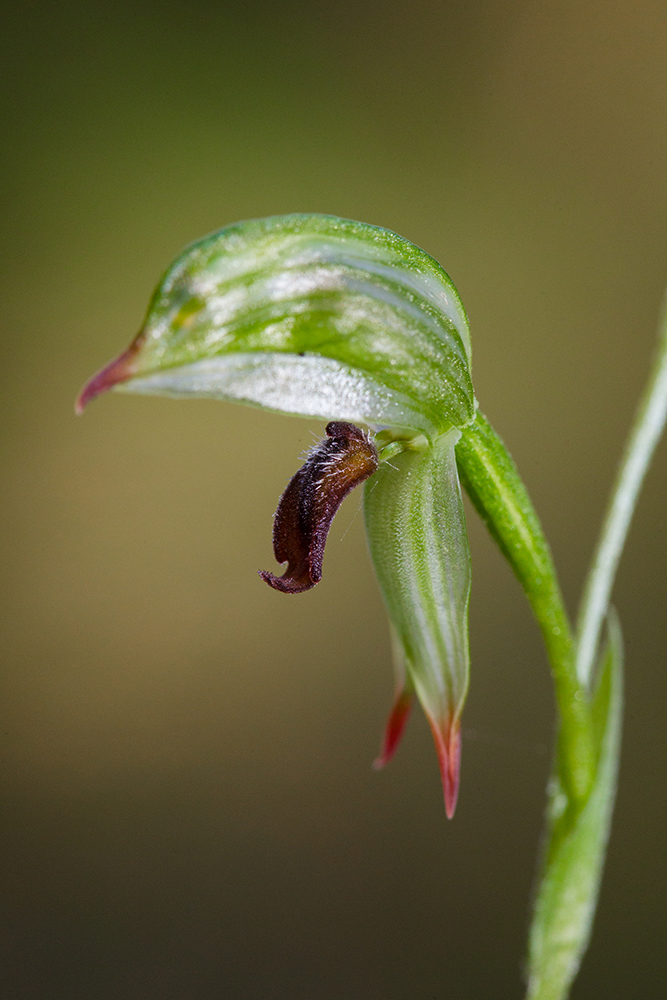 The anatomy of  Pterostylis chlorogramma . The labellum (the brownish red hairy bit) flips upwards when disturbed, trapping the insect in the hood (the top rounded bit). The insect crawls from right to left inside the hood before it is able to escape.