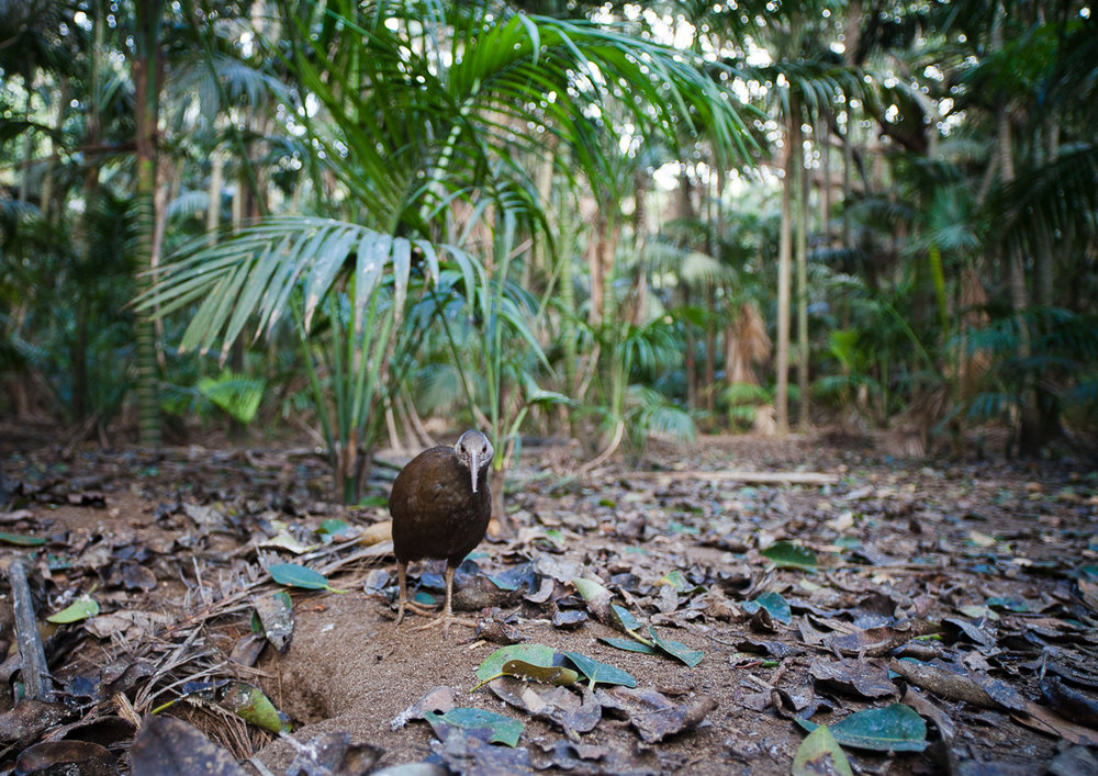 This, to me, is Lord Howe in an image: the iconic woodhen, in a kentia palm forest, with lots of leaves covered in bird shit.