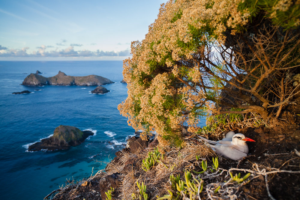 Nesting Red-tailed Tropicbird on the northern end of Lord Howe Island.