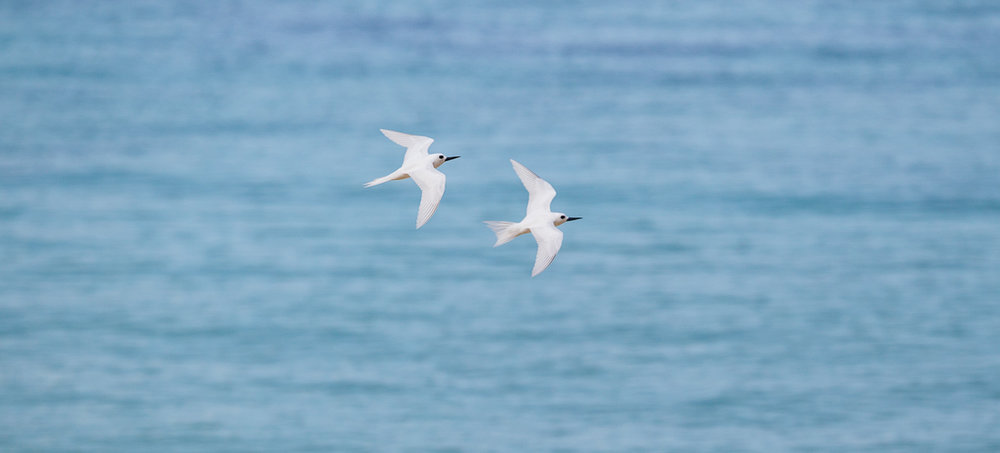 White Terns against turquoise sea, a beautiful sight.