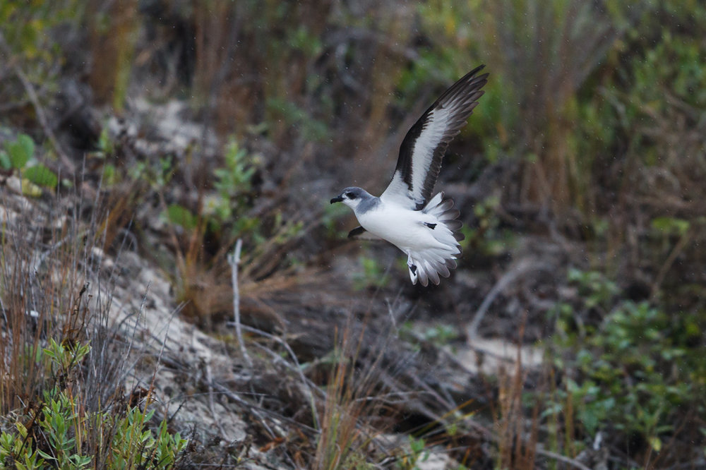 A beautiful Black-winged Petrel, close to dry land! These guys were in the middle of feeding their chicks when I was there in March. They create burrows in the sandy soil where they lay their eggs and rear their young.