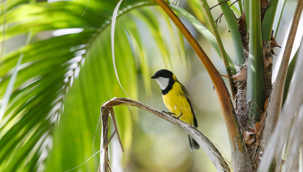 Lord Howe Island Golden Whistler.
