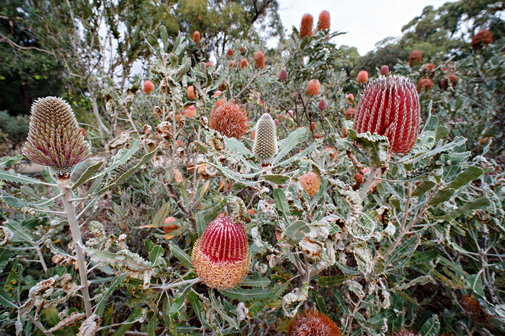 Banksia menziesii  inflorescences at various stages of development.