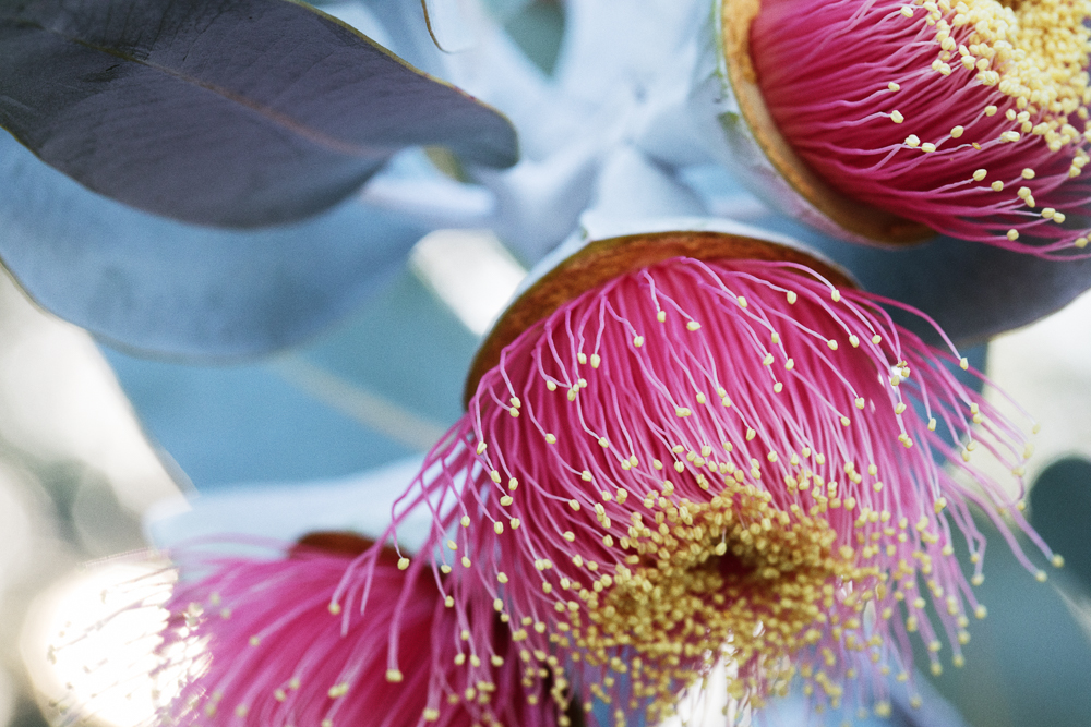 The famous Eucalyptus macrocarpa, meaning 'big fruit' in Latin.