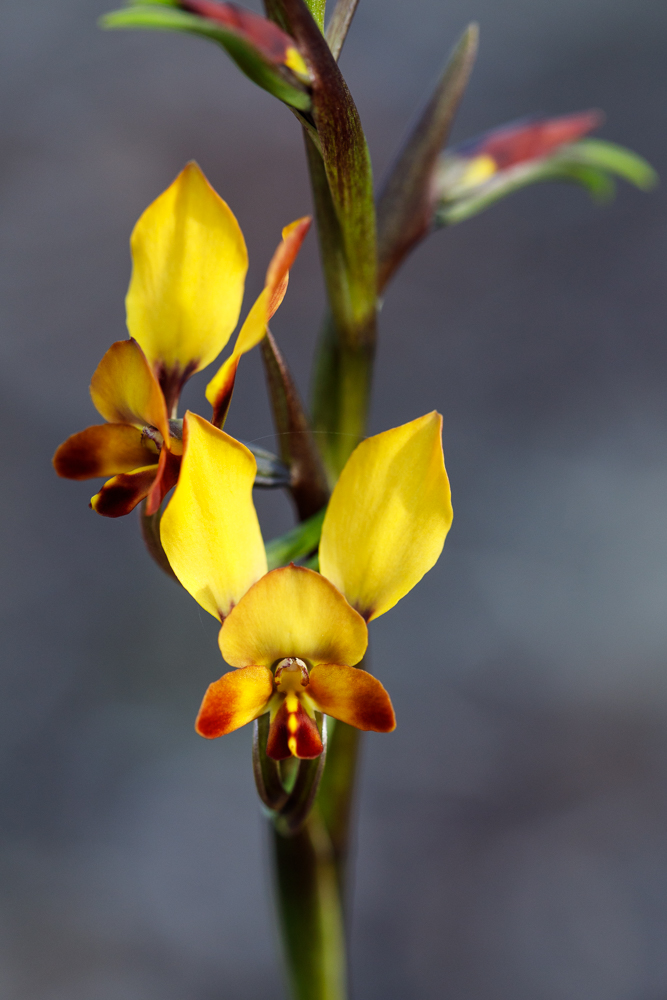 Donkey orchids demonstrate how to mimic native pea flowers.