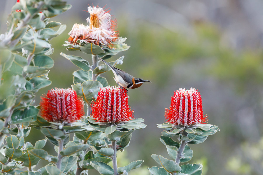 A male Western Spinebill pauses on a scarlet Banksia flower.