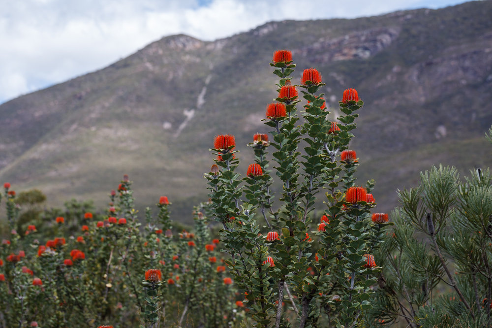 Banksia coccinea  flowering en masse in the Stirling Ranges.